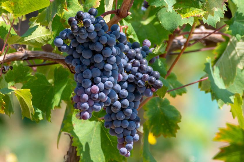 Így készülnek a spontán erjedésű, természetes borok – Nincs bennük adalékanyag