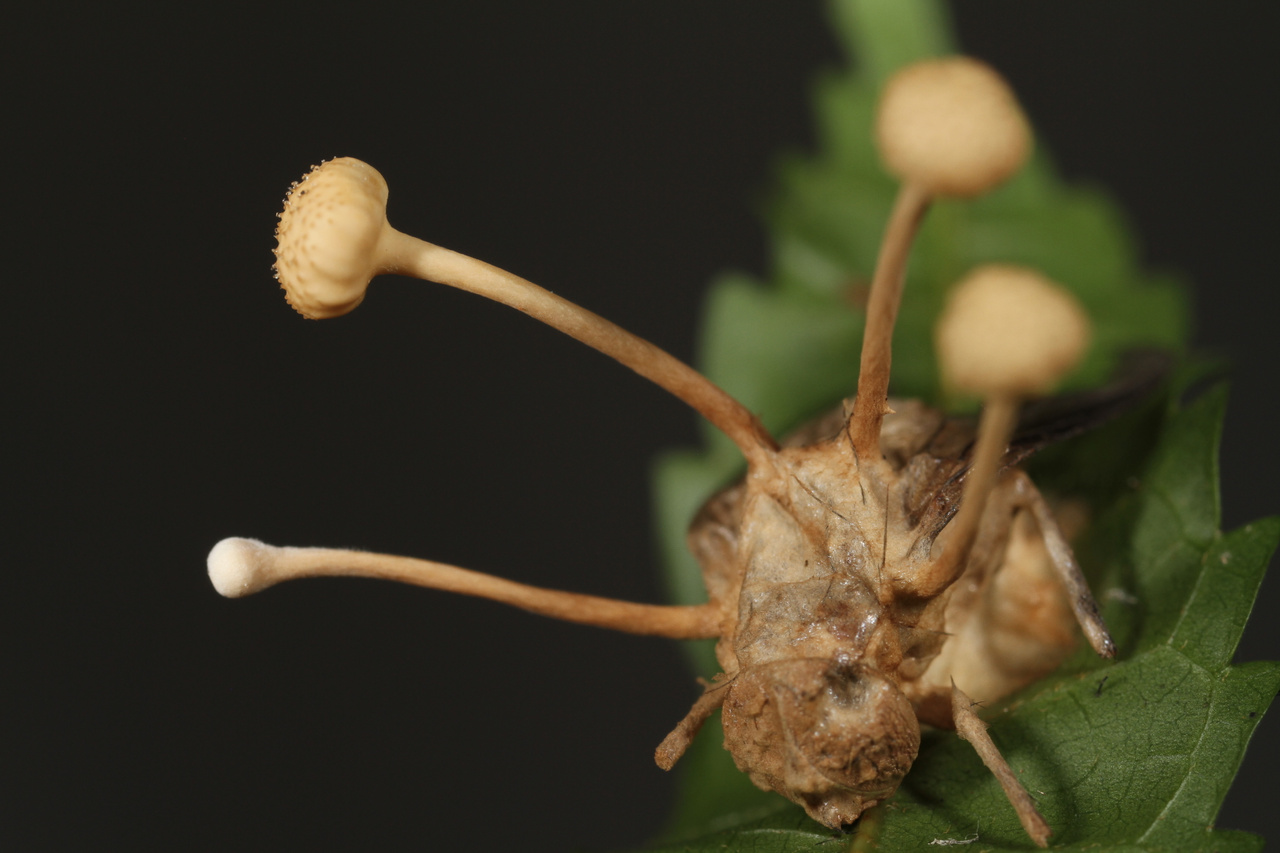 parazita hangya