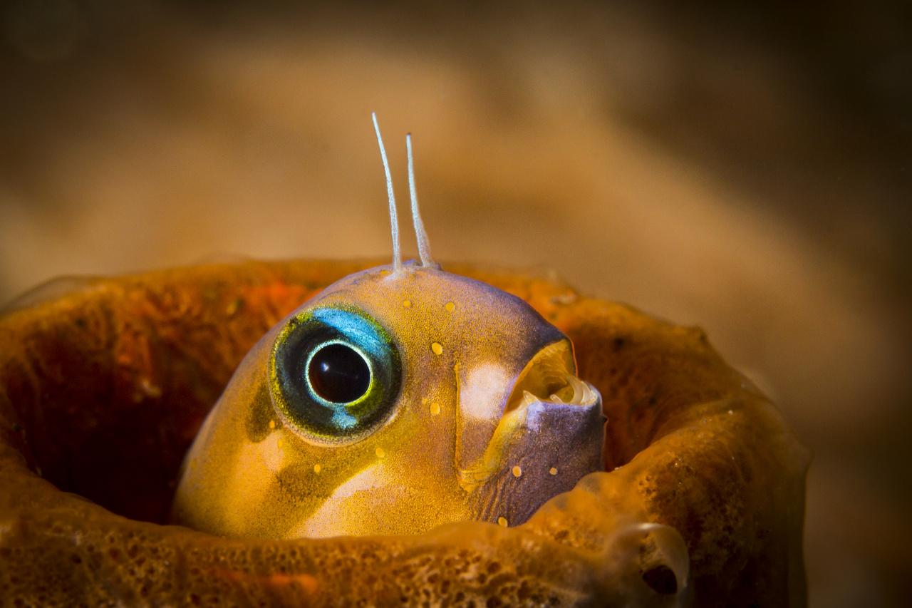 Élet a vízfelszín alatt - Dícséretre méltó - Pohl András: Csőlakó - A kép Indonéziában, Balin, Tulamben Coral Garden merülőhelyén készült, 20 méteres mélységben. Az itt elhelyezett mesterséges zátonyok sokféle élőlénynek nyújtanak menedéket, kavarog rajtuk az élet. Ez a kis hal egy rozsdásodó fémcsőben találta meg otthonát, ahonnan csak kisebb távolságokra merészkedett, és újra és újra visszatért, néha percekig teljesen eltűnve benne.