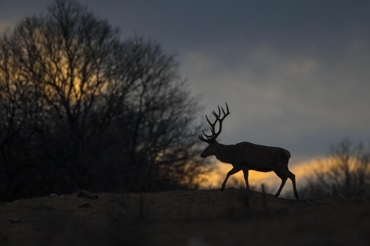 Napnyugtától napkeltéig - Dícséretre méltó - Mesterházi József: Az öreg - Különös téli fényeknél sikerült találkoznom a beváltó bikával. A cserkelés végén vettem észre, hogy ez bizony nem egy szokványos naplemente, és bizakodva siettem a horizonton lévő váltóhoz. Vártam. A fény fogyott, de a remény megmaradt. Nemsokára szép komótosan átsétált előttem a várva várt bika. Szerencsém volt.