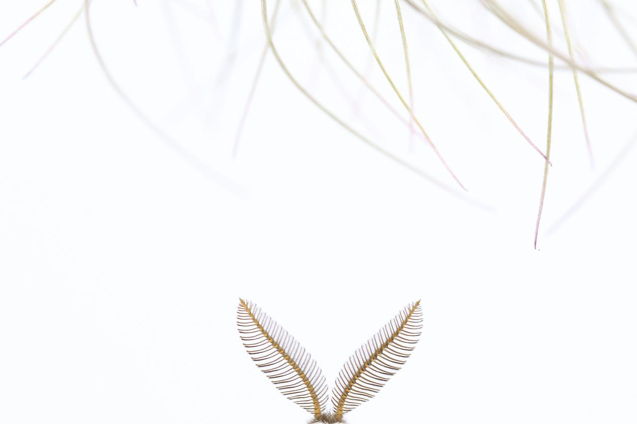Kompozíció, forma és kísérletezés - 3. díj - Kaszás Norbert: Bújócska - Március végi kökörcsinfotózásom közben véletlenül találtam rá erre a kis pávaszem lepkére az Esztergom melletti Strázsa-hegyen. A virágok fényképezését gyorsan fel is függesztettem; gondoltam, azt tudok fotózni máskor is. Ettől kezdve csak a lepkére koncentráltam, mert most láttam először ezt a fajt. Ami a leginkább megfogott benne, az a fésűs csápja volt, ezért azt próbáltam érdekes formában megörökíteni. Annyira belemerültem a csáp fotózásába, hogy csak otthon tudatosult bennem: nem is készítettem olyan képet, amin az egész lepke látható.