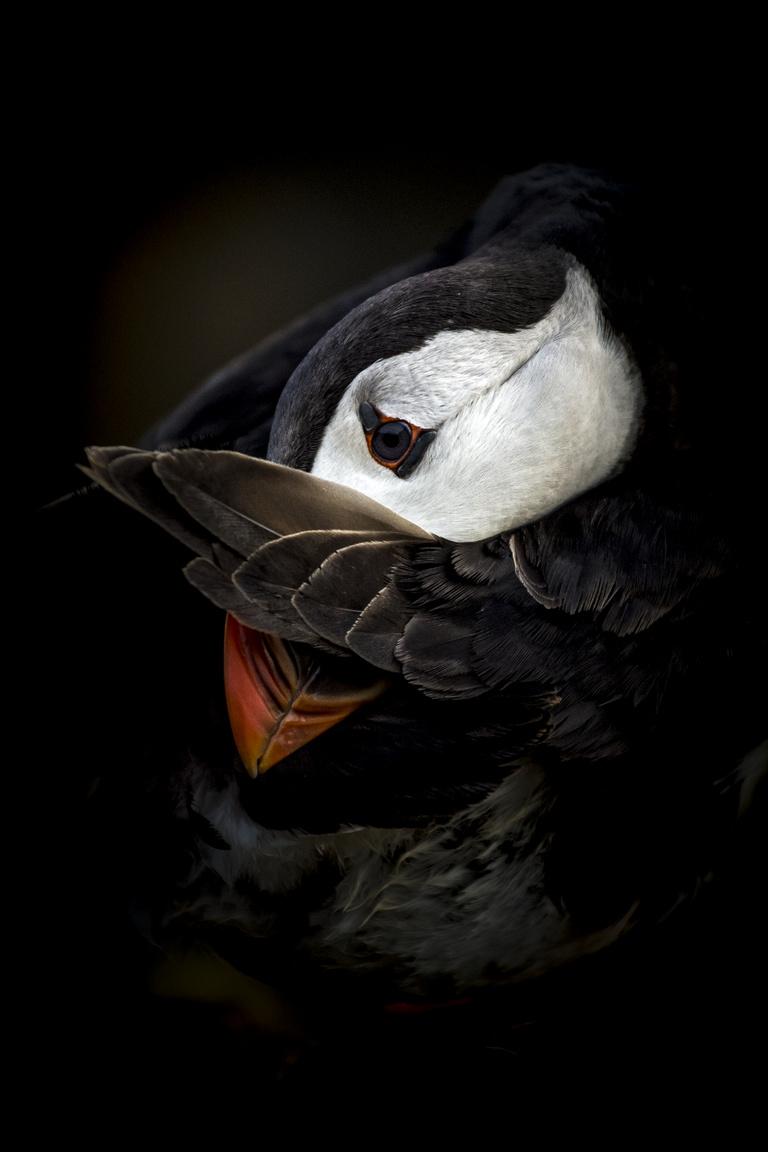 Állatok szemtől szemben - 1. díj - Tökölyi Csaba: Szégyenlős lunda - Szégyenlősen rejti szárnyvége mögé arcát a tollászkodó lunda. Persze ebbe a mozdulatba csak mi, emberek látunk bele érzelemmel teli gesztust, valójában a madár az egyik legfontosabb tevékenységét végzi: rendezgeti és megtisztítja tollait a portól-piszoktól, illetve eltávolítja belőle az élősködőket. Fontos, hogy tollazata tiszta és rendezett legyen, hiszen ez nyújt számára védelmet és hőszigetelést a szárazföldön, és kint a hideg tengeren. A kép a Waleshez tartozó Skomer-szigeten készült, abban az időszakban, amikor a sziget már nem zsibong a napközben odalátogató turistáktól. Ilyenkor a madarak sokkal nyugodtabban és bátrabban viselkednek, így tanúi lehetnünk életük rejtettebb mozzanatainak is, mint például az önfeledt tollászkodásnak a nap végén.
