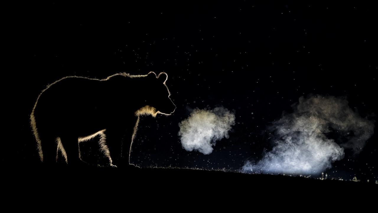 Az emlősök viselkedése - Dícséretre méltó - Máté Bence: Lehelet - A közhiedelemmel ellentétben a barnamedve nem hibernálja magát, csak téli álmot alszik. Nem táplálkozik, nem iszik, és nem ürít, energiaszükségletét a felhalmozott zsír rendkívül hatékony lebontása biztosítja. A természet egyik leghihetetlenebb energiafelhasználása az, amikor élelem és víz nélkül, két hónapon át szoptatja bocsait a barlangjában, mielőtt a tél végén előbújnak, és kitárul számukra a világ. A domb mögé helyezett lámpák fényének segítségével vált láthatóvá az állatok lehelete.
