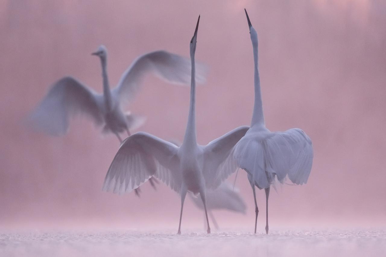 A madarak viselkedése - 3. díj - Hargitai László: Tavi tánc - Tavasszal, a hajnali órákban a nagy kócsagok tömegesen jelennek meg a halaktól hemzsegő vizeken. A hímek gyakran kakaskodnak egymással, amit ez a jellegzetes póz és fejtartás kísér.