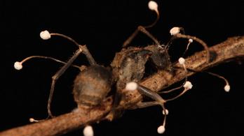 Zombihangyák testéből előtörő parazita gombák az év horrortudományi képein