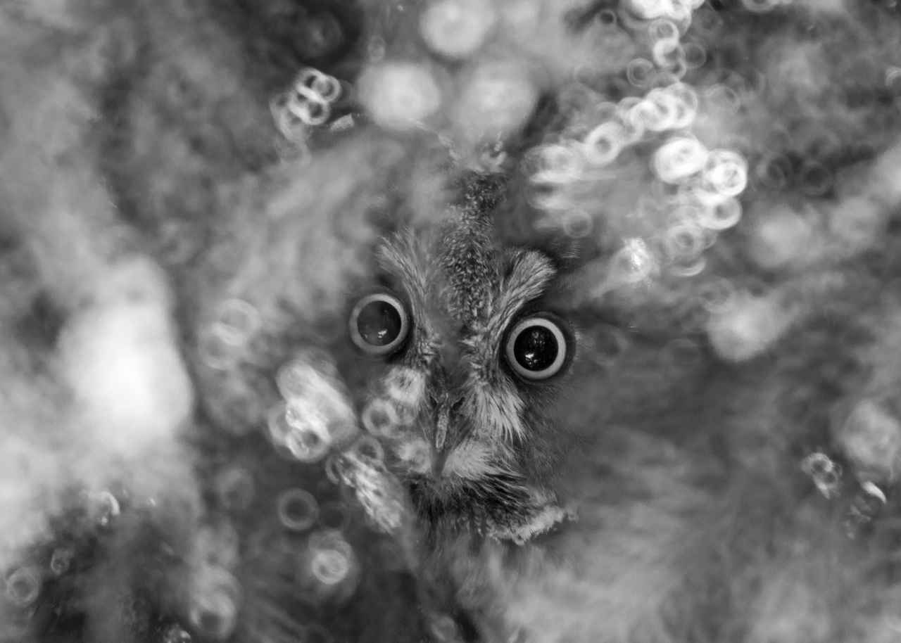 "Animals face to face, Special mention - Anna Vadász: I'm owl eyes and ears - ""The wise eyes of eared owls are watching over the fast-paced city life of humans, to whom they are getting ever closer due to increasing urbanisation. Calmly sitting on conifers, they often rest after a tiring nighttime hunt on spruces found within the limits of cities and towns. If we are attentive and careful, and we act like we did not notice them, they won't fly away, instead, they'll be watching our every move with wide and curious eyes."""