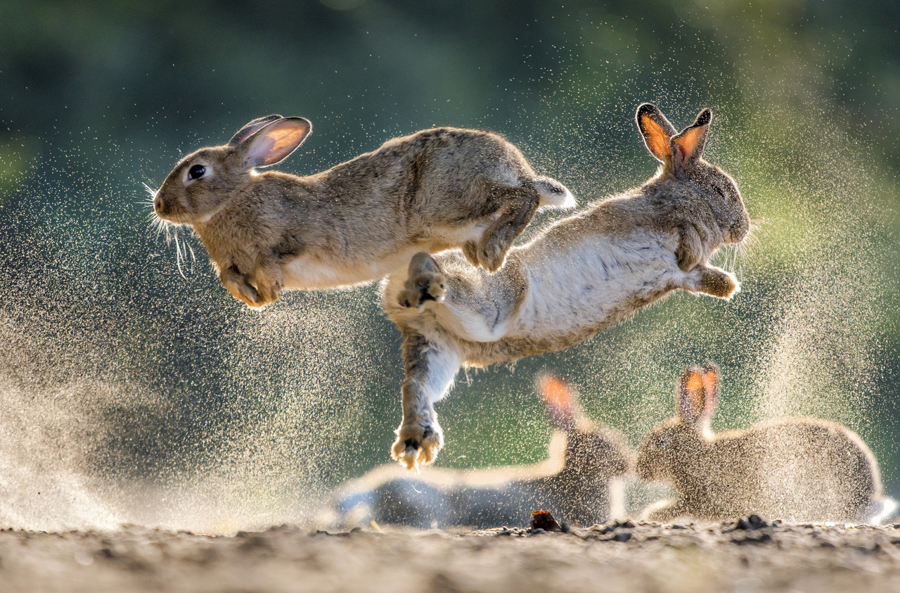"Mammal behaviour, Award winner - Csaba Daróczi: War and Peace - ""In 2018, I've found a colony of European rabbits near the neighbouring village. I've never photographed rabbits before, so I was happy for the opportunity. For a couple of days, I was only observing their behaviour and I really liked it when they were jumping at each other on the sandy ground, and luckily, they were doing that quite often. The lights and the background were only ideal for around one and a half hours in the morning. I went out to take pictures exactly 72 times, and there are only three or four photos that I am satisfied with."""