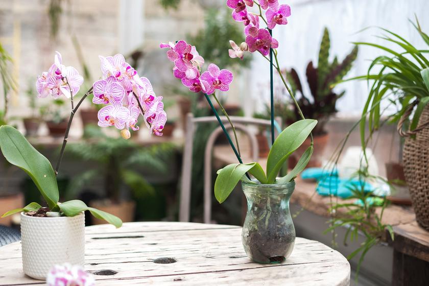 Bár nem tűnnek veszélyesnek, az orchideák egyes embereknél bőrirritációt okozhatnak, ha közvetlenül megérintik őket. Ezenkívül kiválthatnak még extrém esetben szem- és szájkörnyéki duzzanatot, vagy akár anafilaxiás sokkot is.