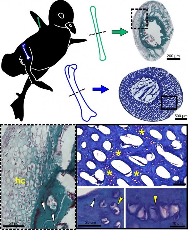 Szárny- (zöld) és láb- (kék) csontok festett keresztmetszeteiben chondroid csontszövet látszik, amely néhány csontban tipikus porcszövetként (hc) jelenik meg, míg más csontokban porcos és csontos jellegzetességek különleges elegyét mutatja mind színeződésében (csillag), mind pedig sejtes állományában (sárga nyíl), eltérően a jól ismert csontsejtektől (fehér nyíl)