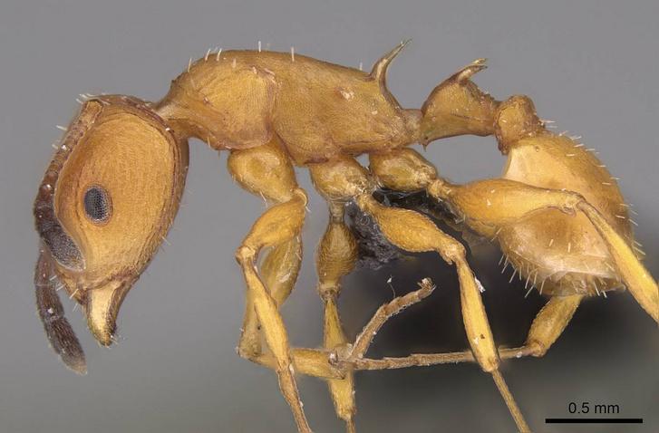 A Csősz Sándor által felfedezett Nesomyrmex hafahafa hangya