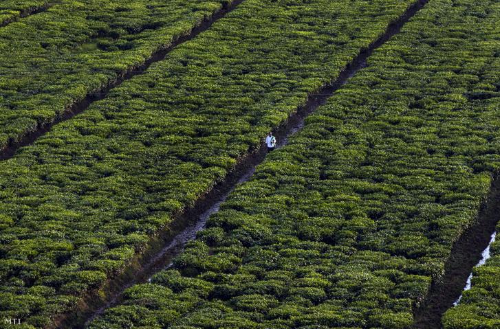 Ruandai teaültetvény