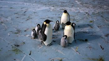 A kihalás szélére sodródhat a császárpingvin a felmelegedés miatt