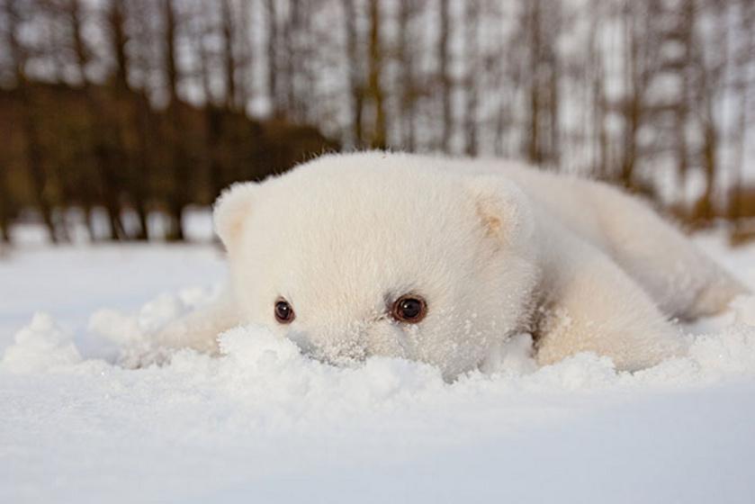 A jegesmedvék otthona az Északi-sarkvidék, így nem meglepő, hogy imádják a hideget. A bundácskájuk és a bőr alatti több centis zsírréteg védi őket a kihűléstől, így bátran játszadozhatnak a hóban.