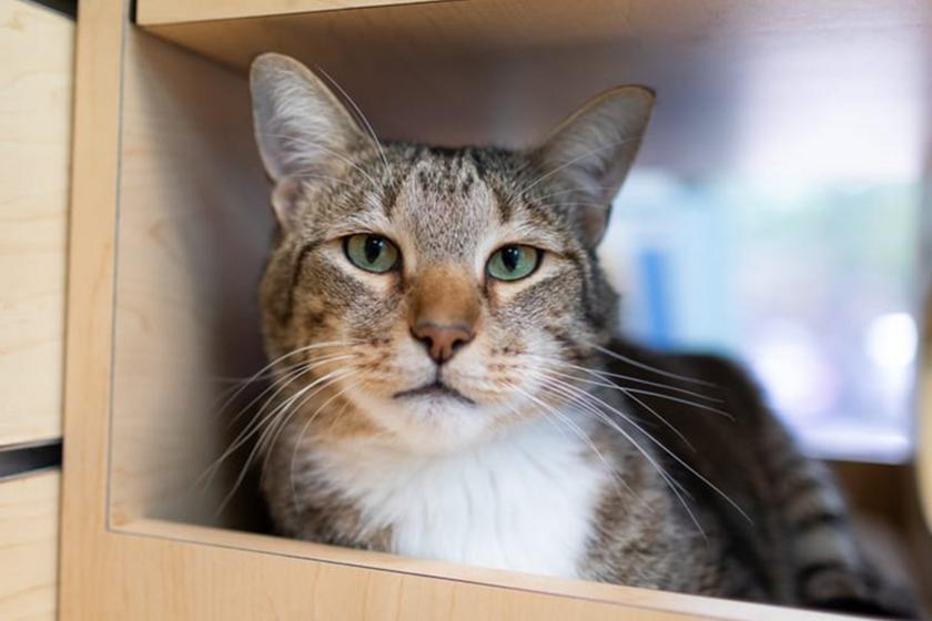 A menhelyi cica rendszeresen megszökteti a többi macskát - Nagyon ügyesen csinálja