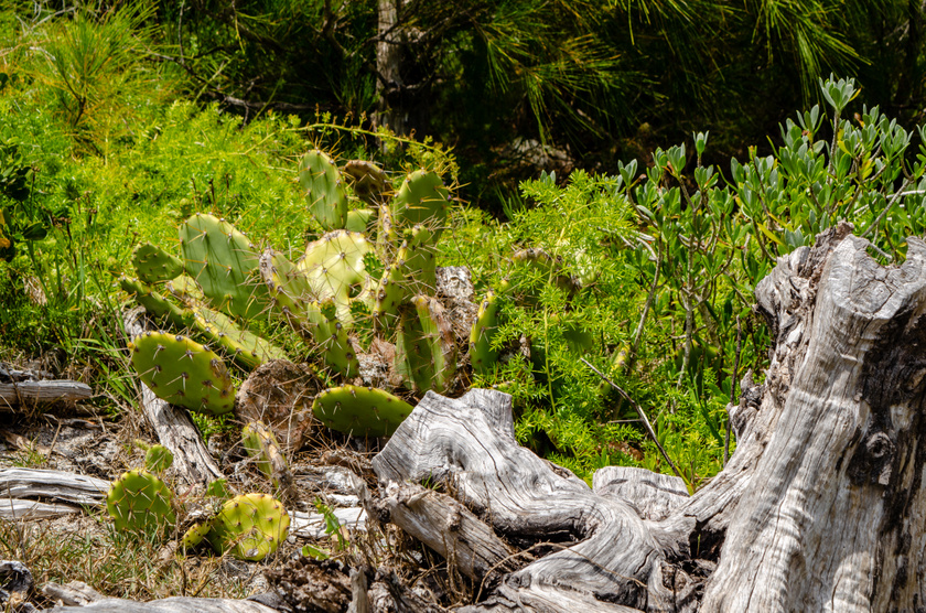 Fügekaktusz természetes élőhelyeinek egyikén, a Bermuda-szigeteken.