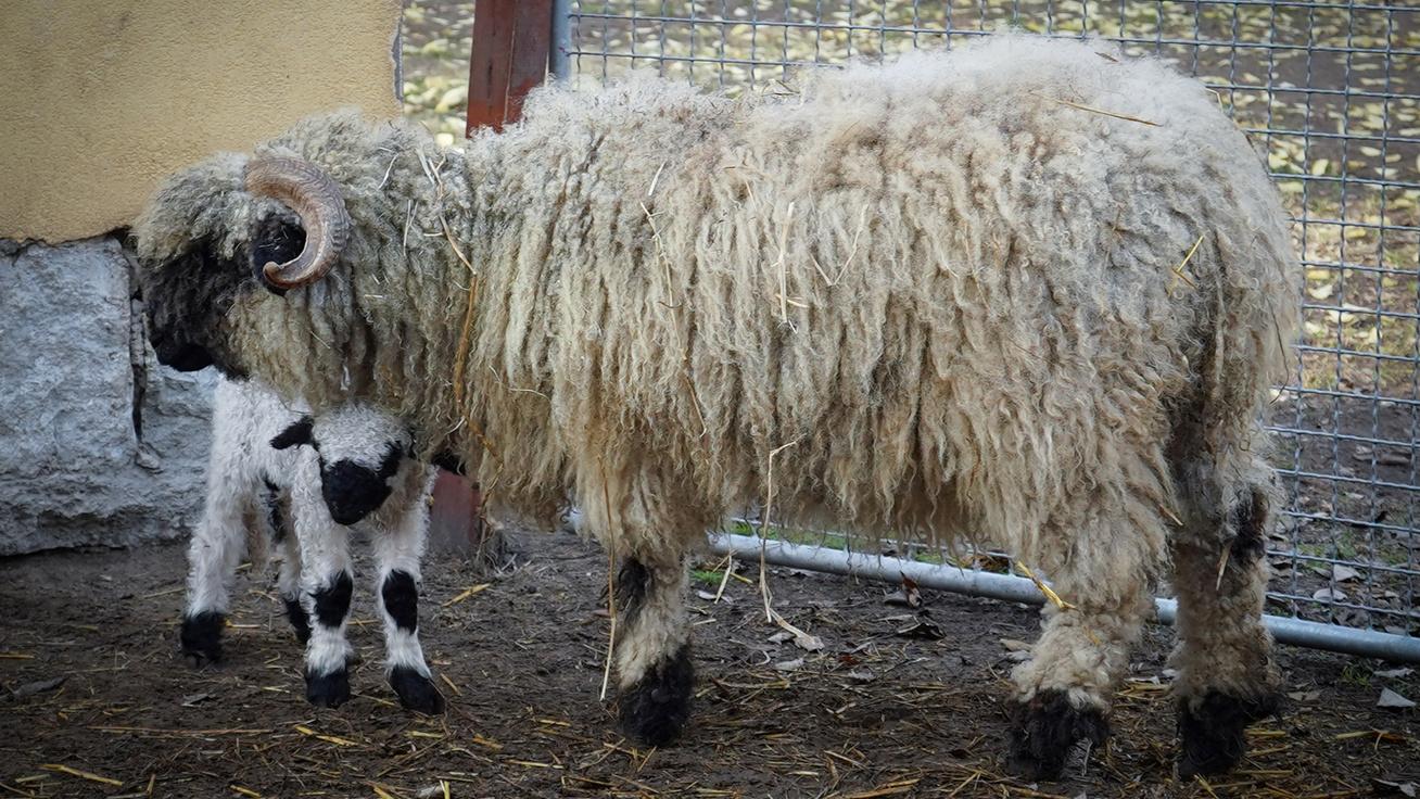 Különleges bárány született a Debreceni Állatkertben - Elolvadsz, ha meglátod