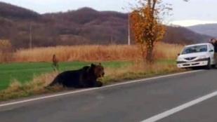 Húsz órát szenvedett az út közepén az elgázolt medve, leváltják Hargita megye prefektusát