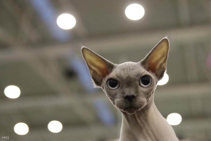 Kanadai szőrtelen macska
