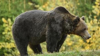 Újabb medvét gázoltak el Romániában, ahol már mindennaposak az ilyen balesetek