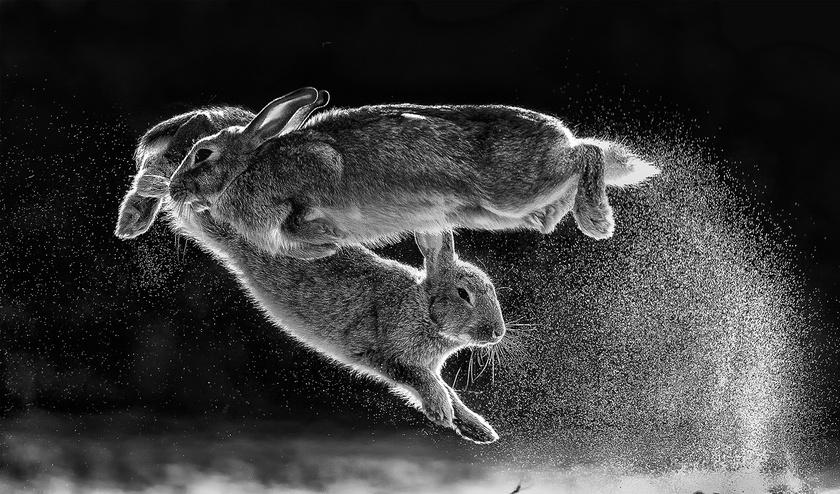 Daróczi Csaba fotója lett az abszolút győztes. Az ugró nyulakat ábrázoló kép a Fekete-fehér kategóriában is első helyezést ért el.