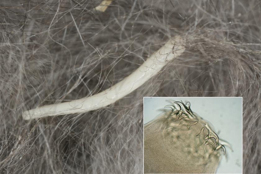 Így néz k az orsóféreg, képen egy macskaszőrbe ragadt példány.