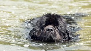 A kamuhős kutya, ami gyerekeket lökdösött a folyóba, hogy aztán kimentse őket