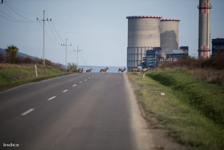 Szarvascsorda halad át az úton Visontánál, a Mátrai Erőműnél 2019. november 12-én