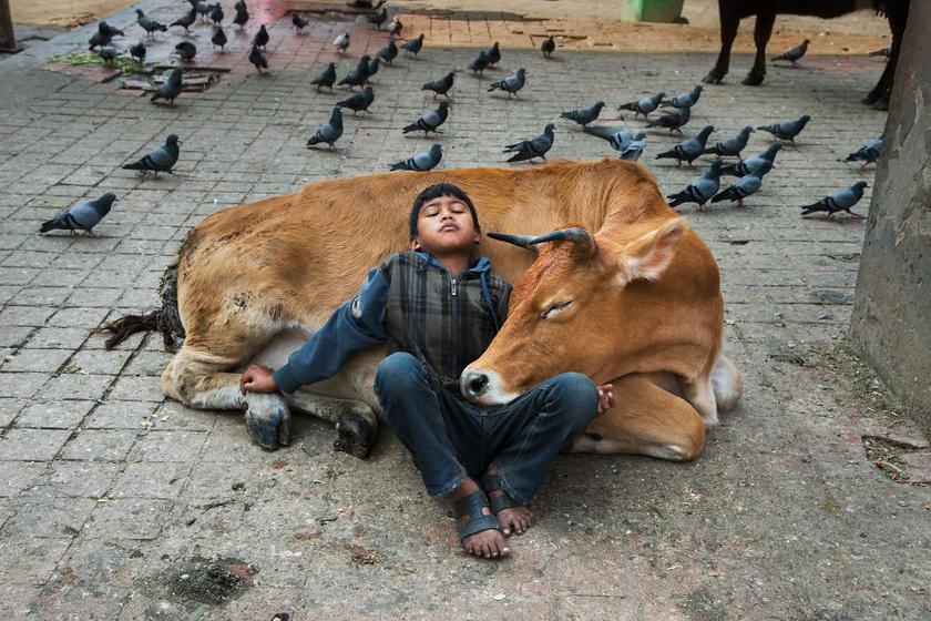 Steve McCurry képeivel az állatok előtt tiszteleg: ők ugyanis nemcsak szeretik, hanem segítik és támogatják is az embereket. A fotó Nepál fővárosában, Katmanduban készült.