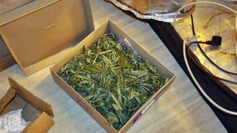 12 tő marihuánanövényt nevelgetett otthon, meglepték a rendőrök