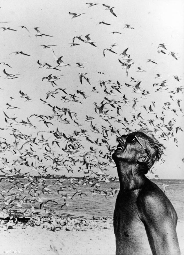 Jacques Yves Cousteau 1970-ben egy csapat sirállyal. A kép készítésének helyszíne ismeretlen - a kapitány száznál is több filmet forgatott a világ számtalan helyszínén.