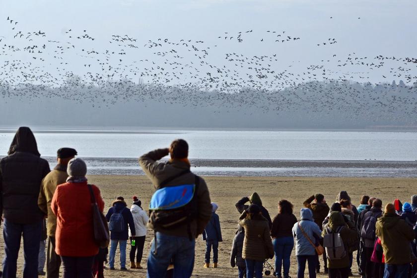 Igazi természeti csoda zajlik most Tatán: vadludak tízezrei érkeznek a sarkkörökről