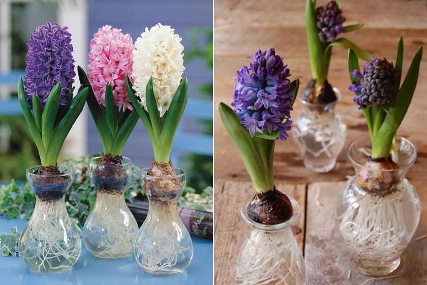 A sziporkázó színű jácintok sima, karcsúsított nyakú üvegpohárban vagy vázában is elképesztően mutatósak.