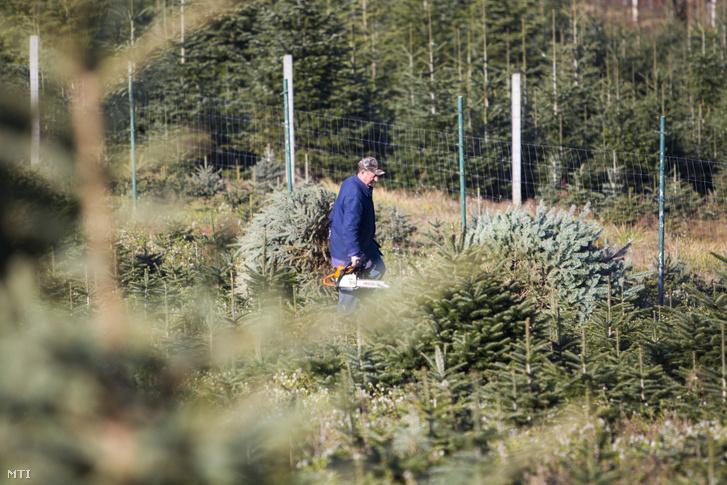 Kerítéssel körülvett fenyőfaültetvény Zalában