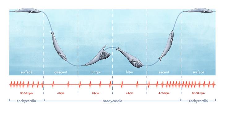 A kék bálna merülése és szívverése közötti összefüggés