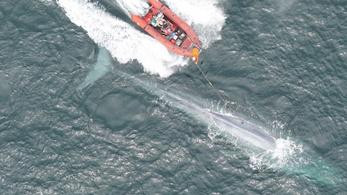 Percenként kétszer ver a kék bálna szíve