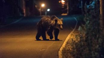 Románia az Európai Uniótól kér segítséget a túl sok medve miatt