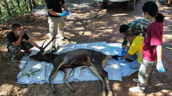 7 kiló műanyagot találtak egy elpusztult szarvas gyomrában Thaiföldön