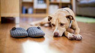 Tényleg hiányzol a kutyádnak, amikor dolgozni mész?