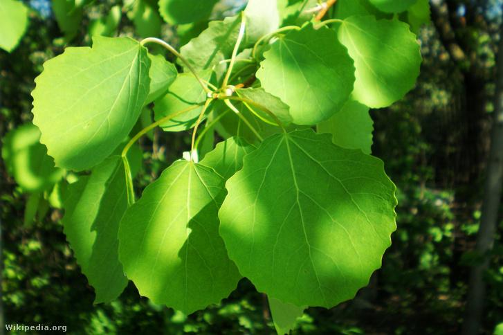 Rezgő nyár (Populustremula)