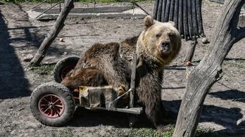 Elpusztult a világ első kerekesszékes medvéje
