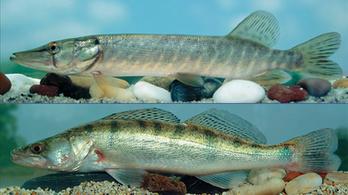 Süllő vagy csuka lesz 2020-ban az év hala?