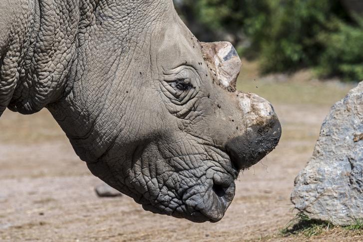 Az orvvadászoktól való védelme érdekében tülkétől megfosztott orrszarvú