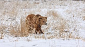 Argentínából Coloradóba menekítenek tíz grizzly medvét