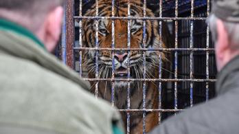 Spanyolországba szállították a lengyel–fehérorosz határon rekedt tigriseket
