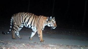 Territóriumot, élelmet és társat keres az indiai tigris