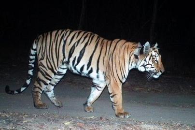 kobor-tigris