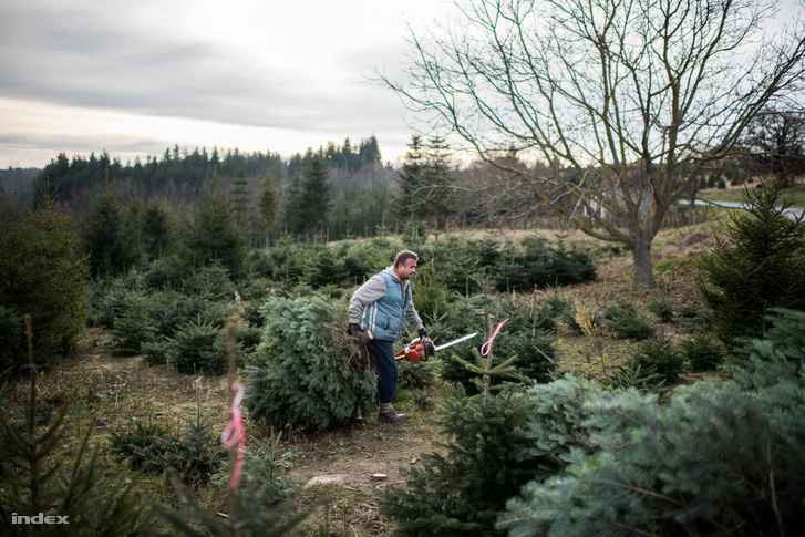Lucfenyők és Nordmann-fenyők egy Zala megyei Nemespátrón: ezekből a fákból is karácsonyfa lesz
