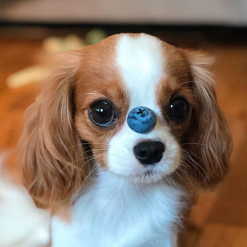 Nessa orrocskája mindössze akkora, mint egy szem áfonya.