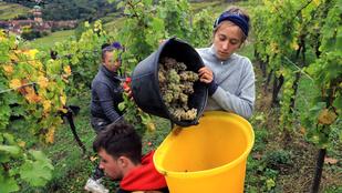 A klímaváltozás miatt teljesen átrendeződik a világ bortérképe