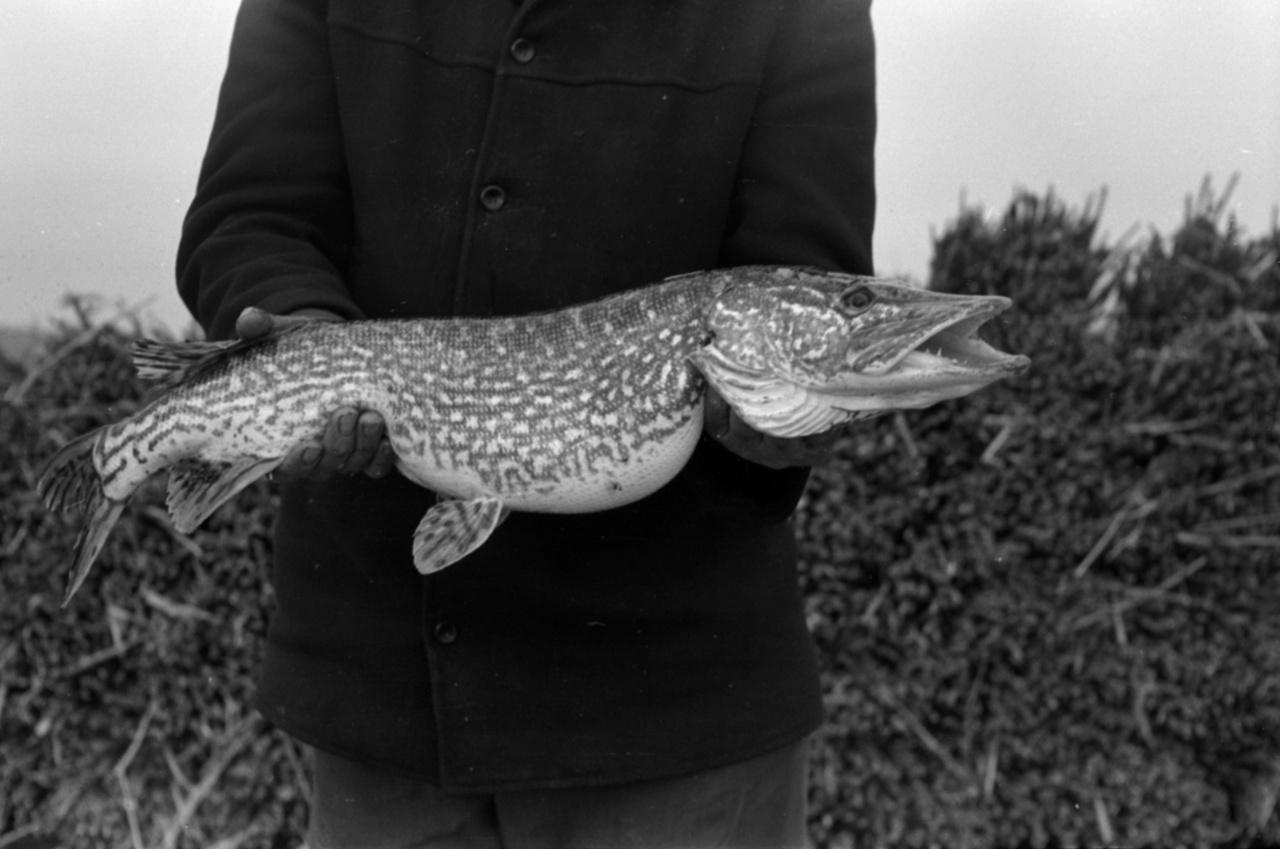 Egy gyönyörű, nagyjából hatkilós csukát tart a kezében a szerencsés horgász, a krokodilpofájú hal vagy tele van ikrával, vagy nemrég nyelt le egy egykilós pontyot.